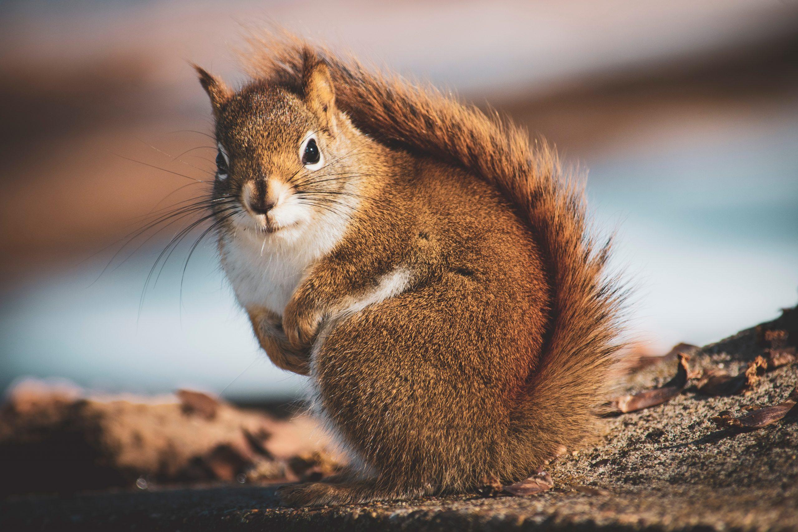Écureuil-Tamia rayé