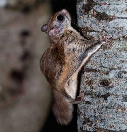 Écureuil volant (Polatouche)