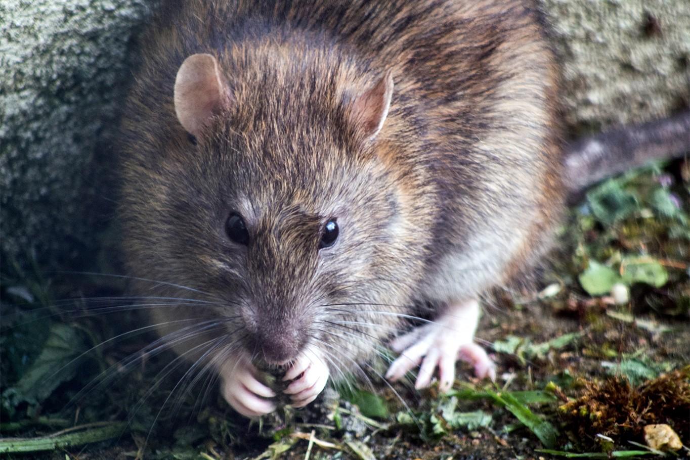 Souris/Rat